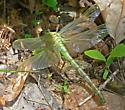 Teneral Dragonhunter - Hagenius brevistylus - male