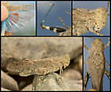 Circotettix undulatus - female