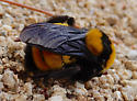 mountainside bee - Bombus sonorus