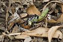 Ammophila? with caterpillar - Ammophila - female