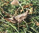 Chloealtis abdominalis - female