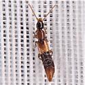 Lathrobiina - Rove Beetle
