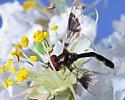 Small Fly - Ocyptamus fascipennis - male