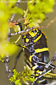Desert Grasshopper - Taeniopoda eques - female