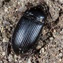 Unknown Beetle - Euryderus grossus