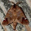 Sigmoid Prominent - Clostera albosigma