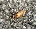 Mystery Buzzing Insect - Promachus rufipes