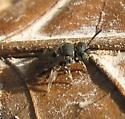 bee - Pseudopanurgus compositarum - female