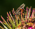Wasp oviposting in Burdock (Arctium lappa) flower. - Agathis malvacearum - female