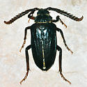 Prionus species - Prionus - male