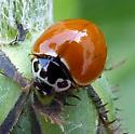 Polished Lady Beetle (Cycloneda munda)? - Cycloneda munda