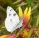 Please help us to identify this white. - Pontia protodice - male