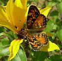 Butterfly - Phyciodes batesii - female