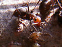 Ant - Formica obscuripes