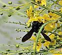 Big Black Bee - Xylocopa mexicanorum