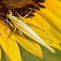 Prairie Tree Cricket? - Oecanthus argentinus - female