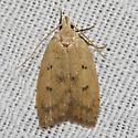 Gold-striped Leaftier - Hodges#0951 - Machimia tentoriferella