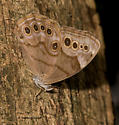 Appalachian Brown from Appalchia - Lethe anthedon