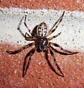 Spider - Larinioides cornutus - male