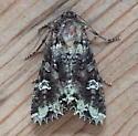 Noctuidae: Mamestra configurata - Mamestra configurata