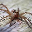 Spider - Rabidosa rabida - female