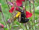 Yellow-backed Bee - Xylocopa varipuncta