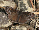 Pacuvius Duskywing - Erynnis pacuvius - male