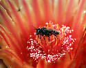 Small bee nectaring on a Barrel Cactus flower - Lithurgopsis echinocacti