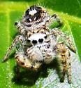 Jumping spider ? - Phidippus putnami