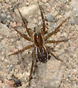 September spider - Pirata - female