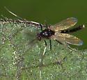 Midge? - Cricotopus - male