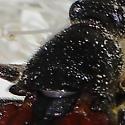 Lepturinae - maybe Leptura plagifera? - Etorofus plagiferus