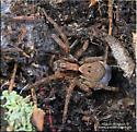 Spider sp - Hogna frondicola