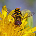 Unknown Fly - Syrphus - male