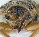 Chrysomelidae, head - Ophraella bilineata