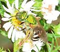 Virescent Green Metallic Bee? - Agapostemon virescens