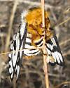 Gold Moth 2 - Hemileuca hera