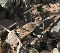 flat bug, browns - Tollius