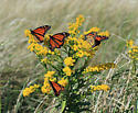 migrating Monarchs - Danaus plexippus