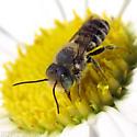 Alfalfa Leafcutter Bee - Megachile rotundata - male