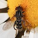 Anasimyia sp - Lejops