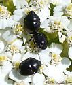 many ebony bugs - Corimelaena lateralis