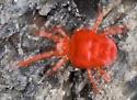 6004323 red mite - Trombidium