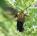 Clearwing Moth - Hemaris diffinis