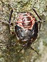 True Bug - Not a Beetle  - Perillus