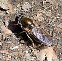Cheilosia sp. - Cheilosia - female