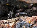 Soldier Beetle ? - Silis