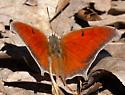 Anaea andria  - Anaea andria - male