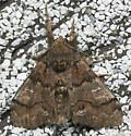 Erebidae - Dasychira manto - male
