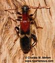 Cymatodera tricolor? - Cymatodera tricolor
